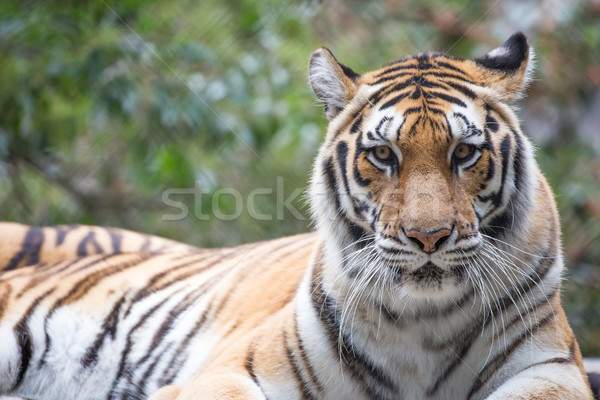 Tiger (Panthera tigris) Stock photo © yhelfman