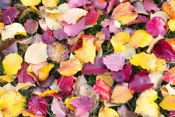 Wiele kolory spadek kolorowy pozostawia trawy Zdjęcia stock © yhelfman