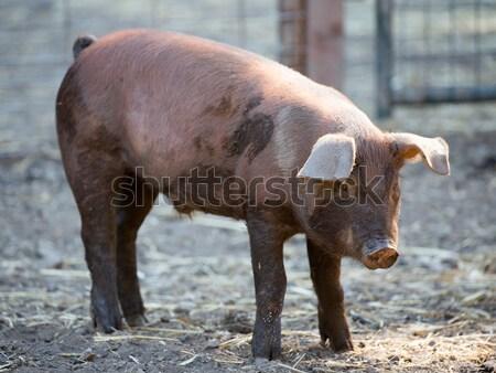 Piros sertés áll szarvas üreges farm Stock fotó © yhelfman