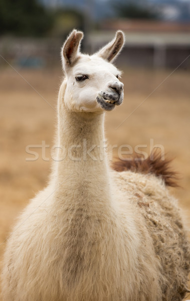Llama - Lama glama, Portrait Stock photo © yhelfman