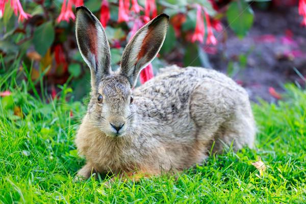 европейский заяц коричневый Ложь землю Сток-фото © yhelfman