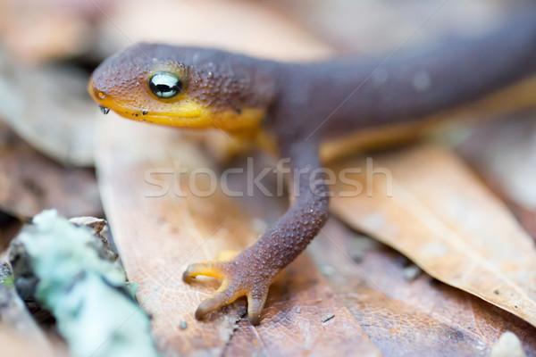 Rough-skinned Newt (Taricha granulosa) Stock photo © yhelfman