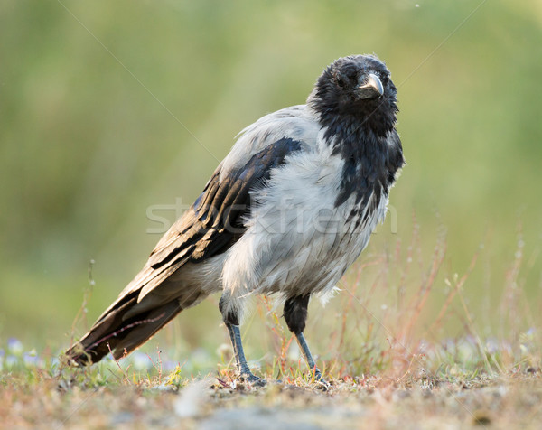 Hooded Crow, Corvus corone cornix Stock photo © yhelfman