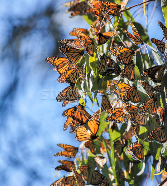 Monarch butterflies - Danaus plexippus Stock photo © yhelfman