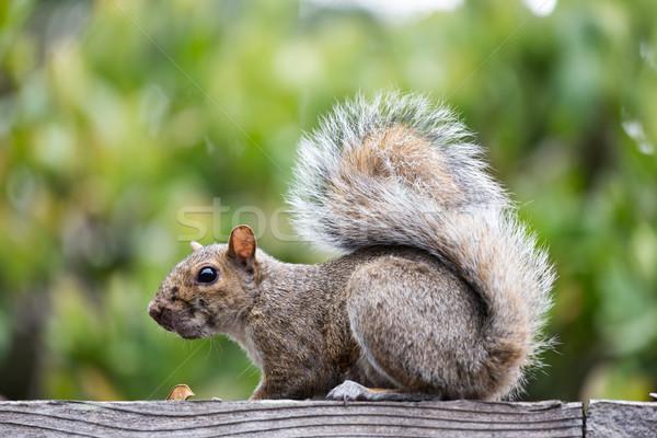 Orientale gris écureuil séance clôture Photo stock © yhelfman