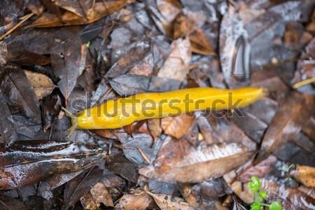 Californië banaan naaktslak nat bladeren shot Stockfoto © yhelfman