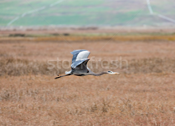Great Blue Heron (Ardea Herodias) Flying Over Wetlands. Stock photo © yhelfman