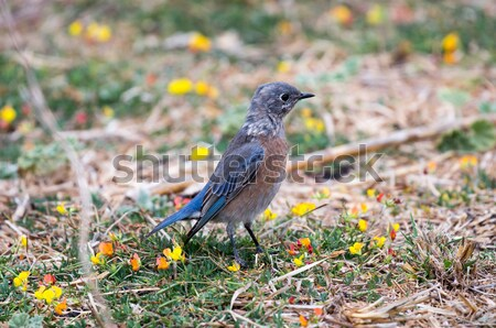 Western Bluebird perched on colorful ground Stock photo © yhelfman