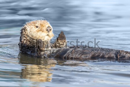 Curious Sea Otter (Enhydra lutris) floating in Santa Cruz Harbor. Stock photo © yhelfman