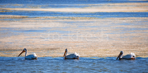American White Pelicans (Pelecanus erythrorhynchos) wading in mossy bay Stock photo © yhelfman