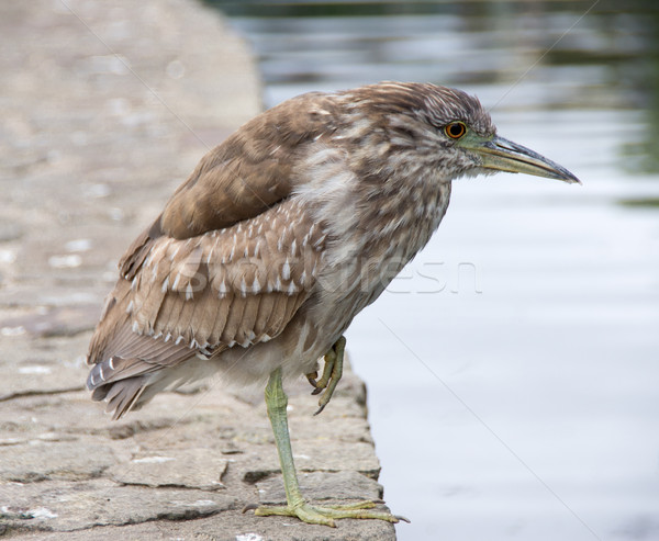 Black-crowned Night-Heron (Nycticorax nycticorax) , Juvenile Stock photo © yhelfman
