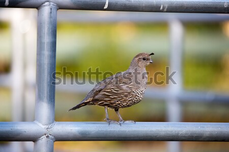 California Quail - Callipepla californica, Female or immature. Stock photo © yhelfman