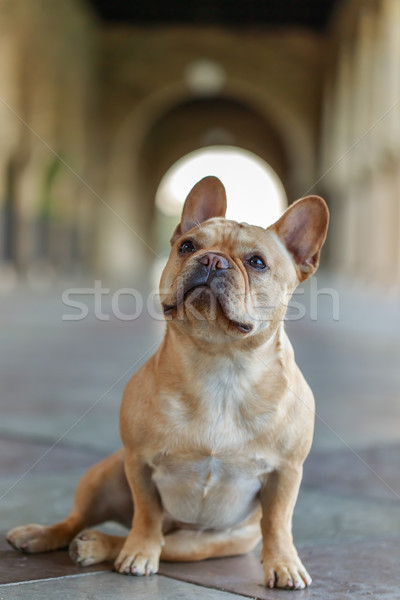 French Bulldog sitting on  the floor and looking up. Stock photo © yhelfman