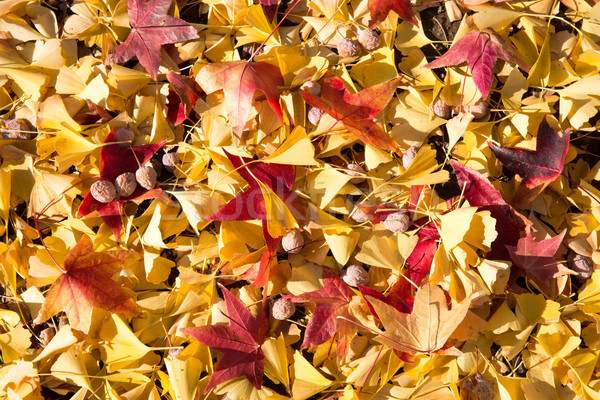 Colorful autumn leaves Stock photo © yhelfman
