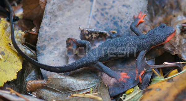 Red-bellied Newt, Taricha rivularis, on Leaves Stock photo © yhelfman