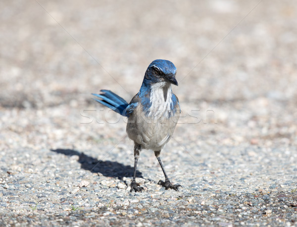 California Scrub-Jay (Aphelocoma californica) adult perched on the ground. Stock photo © yhelfman
