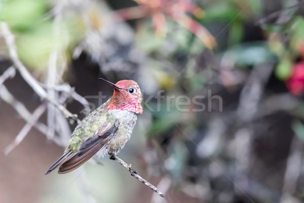 Anna's Hummingbird (Calypte anna) perched on a branch in a botanic garden. Stock photo © yhelfman