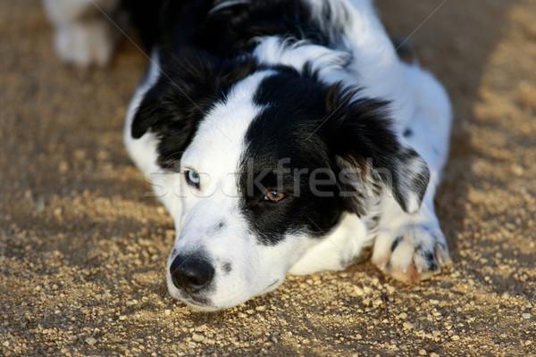 Black & White Border Collie Resting. Stock photo © yhelfman