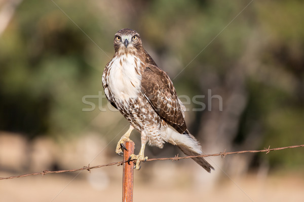 Cooper's Hawk - Accipiter cooperii Stock photo © yhelfman