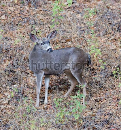 Black-tailed Deer Buck Posing Stock photo © yhelfman