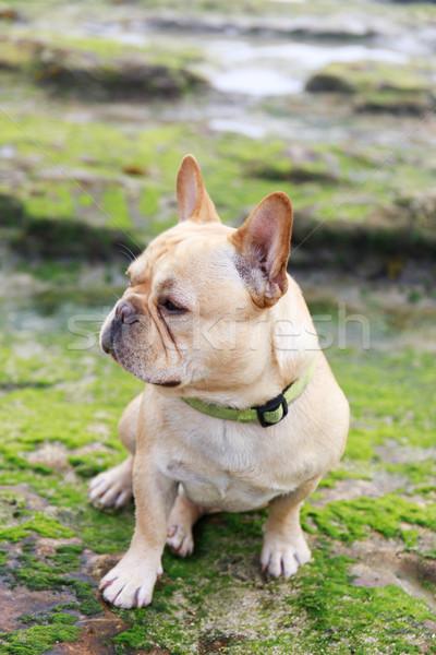 French Bulldog sitting in rocky coastline covered with algae. Stock photo © yhelfman