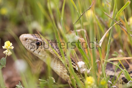Pacific Gopher Snake (Pituophis catenifer catenifer) hiding in the grass. Stock photo © yhelfman