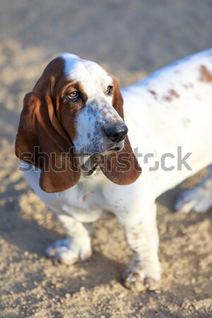 Basset Hound puppy female close-up. Stock photo © yhelfman