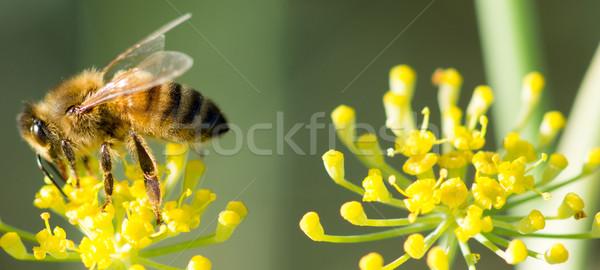 Méh ánizs virág tudományos név nap Stock fotó © yhelfman