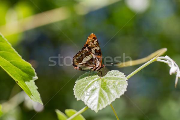 Lorquin's admiral - Limenitis lorquini Stock photo © yhelfman