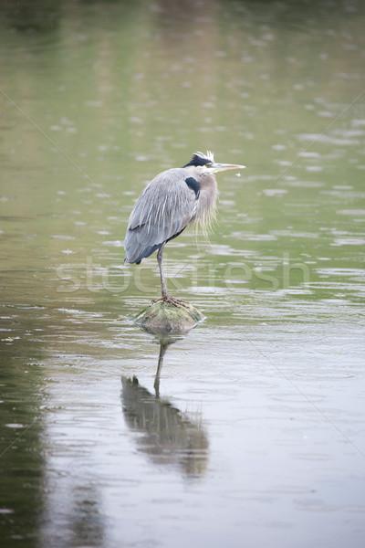 Great Blue Heron - Ardea Herodias foraging in the rain Stock photo © yhelfman