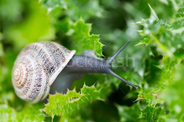 Jardim caracol folhas verdes comida folha Foto stock © yhelfman