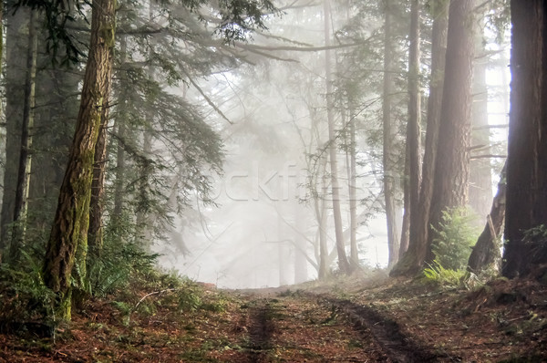 Foggy Forest of Bolinas Ridge. Stock photo © yhelfman