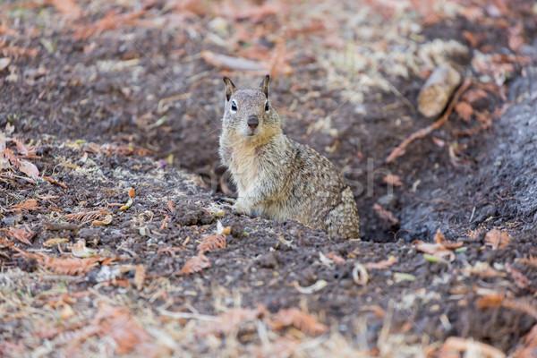 California Ground Squirrel - Otospermophilus beecheyi Stock photo © yhelfman