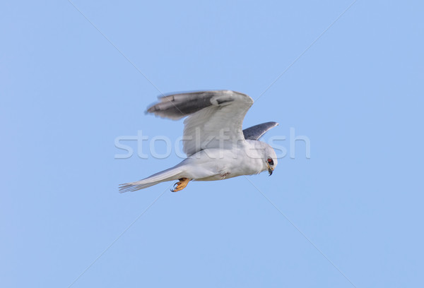 White-tailed Kite - Elanus leucurus, Adult. Stock photo © yhelfman
