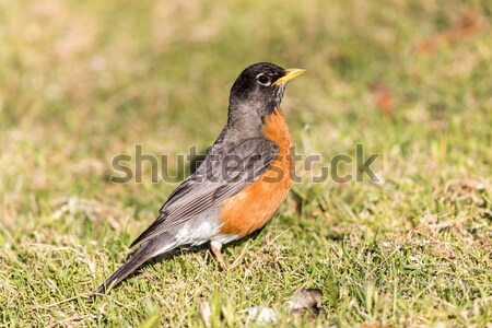 American Robin - Turdus migratorius, Adult Male. Stock photo © yhelfman