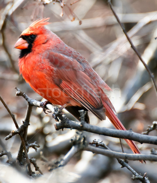 North Cardinal male perched on a tree branch Stock photo © yhelfman