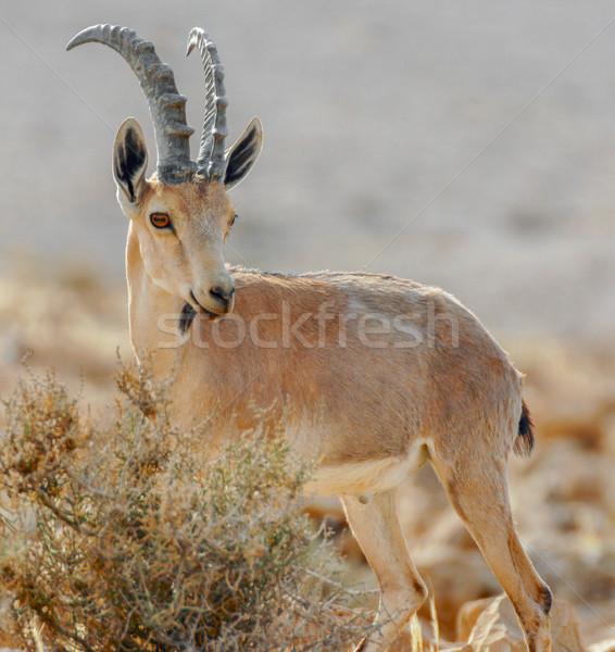 Nubian Ibex (Capra nubiana)  Stock photo © yhelfman