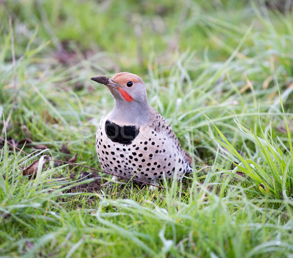 Stock photo: Northern Flicker, Colaptes auratus
