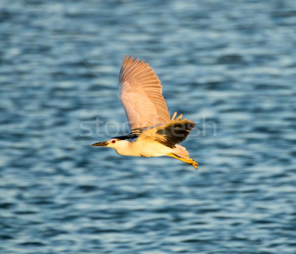 Black-Crowned Night-Heron in flight; Alviso, CA Stock photo © yhelfman