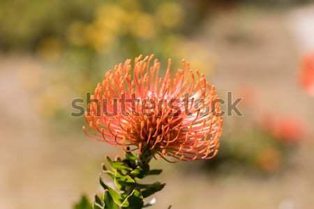 Pincushion Protea (Leucospermum cordifolium) aka Flame Giant. Stock photo © yhelfman