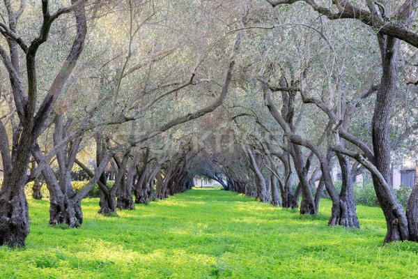 Olive Grove Tranquility. Carmelite Monastery of San Francisco - Carmel of the Infant Jesus Stock photo © yhelfman