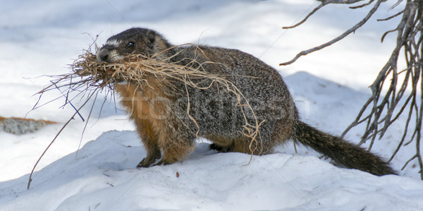 Yellow-bellied Marmot - Marmota flaviventris Stock photo © yhelfman