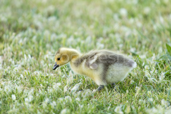 Canada Gosling (Branta Canadensis) Eating Grass Stock photo © yhelfman