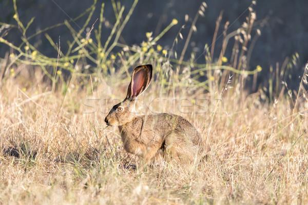 Alert Black-tailed Jackrabbit (Lepus californicus) Camouflaged. Stock photo © yhelfman