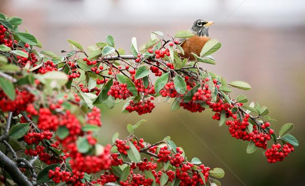 American Robin - Turdus migratorius Stock photo © yhelfman