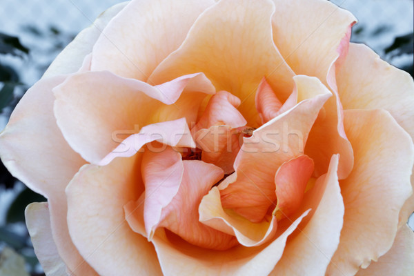 Apricot Hybrid Tea Rose  Details Stock photo © yhelfman