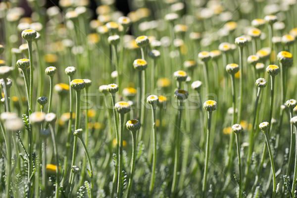 Lavender Cotton - Cotton-Lavender - Santolina chamaecyparissus Stock photo © yhelfman