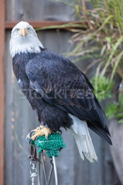 American Bald Eagle - Haliaeetus leucocephalus, Adult Female Stock photo © yhelfman