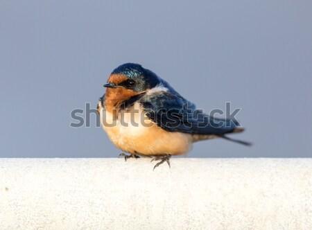 Barn Swallow - Hirundo rustica, Adult Female. Stock photo © yhelfman