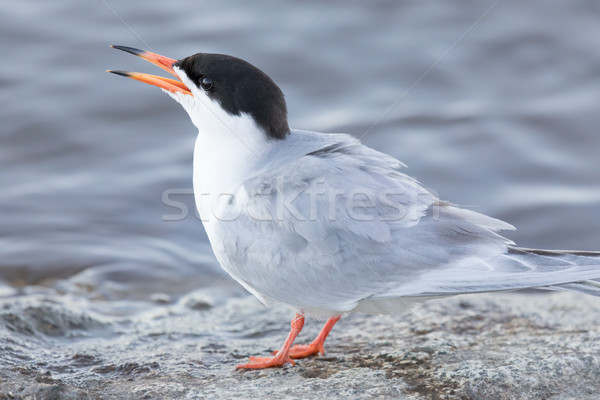 Common Tern (Sterna hirundo) Adult perched by the lake and calling. Stock photo © yhelfman